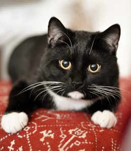 Image is of a close up of a domesticated black cat with white chest and paws little on a cushion.