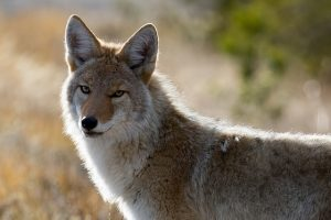 Image is a close up of a coyote in the wild.