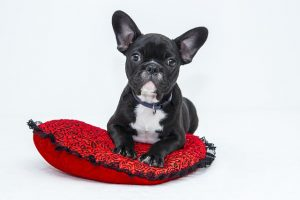 Image is a french bull dog sitting on a red pillow.