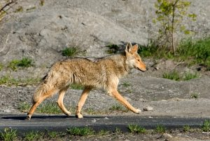 Image is a coyote walking along a path in the wild.