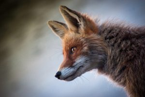 Image is a close up of a wild fox.